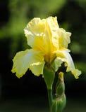 Закройте вверх желтой бородатой радужки против запачканной предпосылки Стоковое фото RF