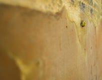 Закройте вверх желтых жука или Ladybug Ladybird Стоковые Фото