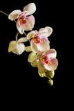 Закройте вверх желтых цветков орхидеи фаленопсиса с розовой губой Стоковое Фото