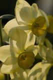 Закройте вверх желтых цветков narcissus Стоковые Фотографии RF