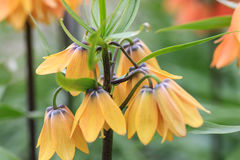 Закройте вверх желтых chequered лилий стоковые фотографии rf