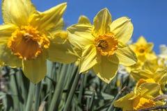 Закройте вверх желтых daffodils Стоковое Изображение RF
