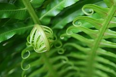 Закройте вверх живых зеленых свертывая молодых лист папоротника, с выборочным фокусом стоковое изображение rf