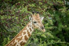 Закройте вверх жирафа в Etosha Стоковые Изображения RF