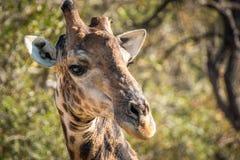 Закройте вверх жирафа в Kruger Стоковые Фото
