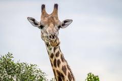 Закройте вверх жирафа играя главные роли на камере Стоковые Изображения