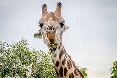 Закройте вверх жирафа играя главные роли на камере Стоковое фото RF