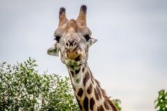 Закройте вверх жирафа играя главные роли на камере Стоковое Фото