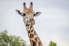 Закройте вверх жирафа играя главные роли на камере Стоковые Фотографии RF
