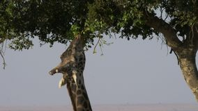 Закройте вверх жирафа питаясь на листьях акации в запасе игры mara masai акции видеоматериалы