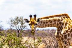 Закройте вверх жирафа смотря камеру в зоне саванны центрального парка Kruger Стоковое Изображение