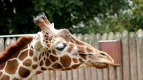 Закройте вверх жирафа Стоковые Изображения