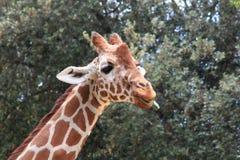 Закройте вверх жирафа Стоковое Изображение