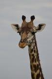 Закройте вверх жирафа ` s Rothschild смотря на камеру Стоковые Фотографии RF