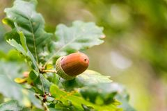 Закройте вверх жолудя на ветви дуба в лесе в осени Стоковые Изображения