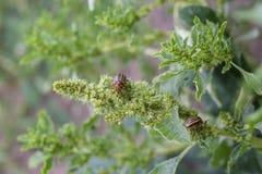 Закройте вверх жука Колорадо Striped картошкой - Leptinotarsa Decemlineata, серьезного бича заводов картошек Стоковое фото RF