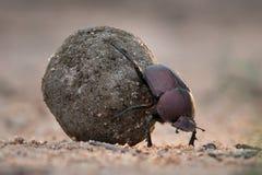 Закройте вверх жука навоза свертывая свой шарик навоза Стоковая Фотография RF