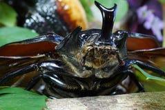 Закройте вверх жука носорога Skarabaeidae стоковые изображения
