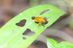 Закройте вверх жука Cucurbit Стоковая Фотография