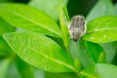 Закройте вверх жука hirta Tropinota вползая на зеленых листьях Стоковая Фотография RF