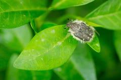 Закройте вверх жука hirta Tropinota вползая на зеленых листьях Стоковые Изображения