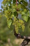 Закройте вверх завода виноградины на весеннем времени с цветками виноградин стоковые изображения
