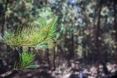 Закройте вверх загоренных игл сосны; запачканный вечнозеленый лес на заднем плане; Природный заповедник государства Lobos пункта, стоковые изображения