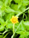 Закройте вверх закрытого желтого bac зеленого цвета головы цветка одуванчика одиночного Стоковое Изображение RF