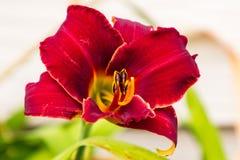 Закройте вверх заново раскрытой красной лилии Стоковое Фото