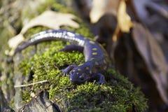 Запятнанный саламандр на журнале Стоковое фото RF