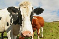 Закройте вверх запятнанной коровы Стоковые Изображения RF
