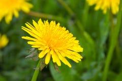 Закройте вверх зацветая желтых цветков одуванчика Стоковые Изображения RF