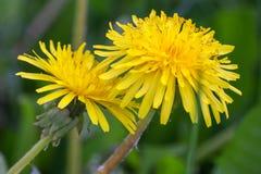 Закройте вверх зацветая желтых цветков одуванчика Стоковое Изображение