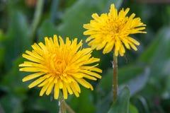 Закройте вверх зацветая желтых цветков одуванчика Стоковое фото RF