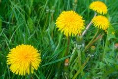 Закройте вверх зацветая желтых цветков одуванчика Стоковое Изображение RF