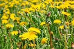 Закройте вверх зацветая желтых цветков одуванчика в саде на времени весны Стоковое фото RF