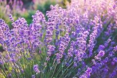 Закройте вверх зацветая цветков лаванды под лучами солнца лета Стоковая Фотография