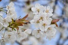 Закройте вверх зацветая цветков времени ветви вишневого дерева весной поле глубины отмелое Деталь вишневого цвета на солнечный де Стоковые Фотографии RF