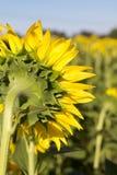 Закройте вверх задней части солнцецвета Стоковая Фотография RF