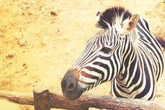 Закройте вверх зебры в сафари на зоопарке Чиангмая Стоковые Фотографии RF