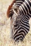 Закройте вверх зебры есть траву Стоковое Изображение RF