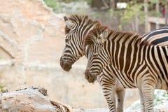 Закройте вверх зебры пар стоя совместно Стоковая Фотография RF