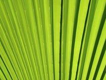 Закройте вверх зеленой текстуры лист пальмы стоковое фото rf