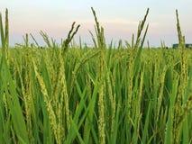 Закройте вверх зеленых неочищенных рисов, неочищенных рисов нерезкости field стоковое изображение