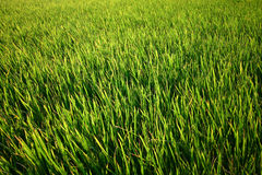 Закройте вверх зеленого поля риса Стоковые Изображения