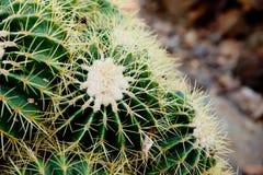 Закройте вверх зеленого цвета и cream завода кактуса spikey Стоковые Фото