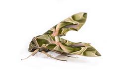 Закройте вверх зеленой бабочки ночи Стоковая Фотография RF