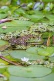 Закройте вверх зеленой жабы скрываясь в пруде Стоковая Фотография