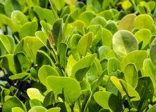 Закройте вверх зеленой изгороди privet Стоковые Фото