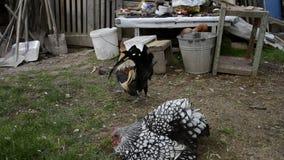 Закройте вверх золотого петуха кукарекая на традиционном сельском скотном дворе в утре Красочные длинн-замкнутые вороны петушка Ф видеоматериал